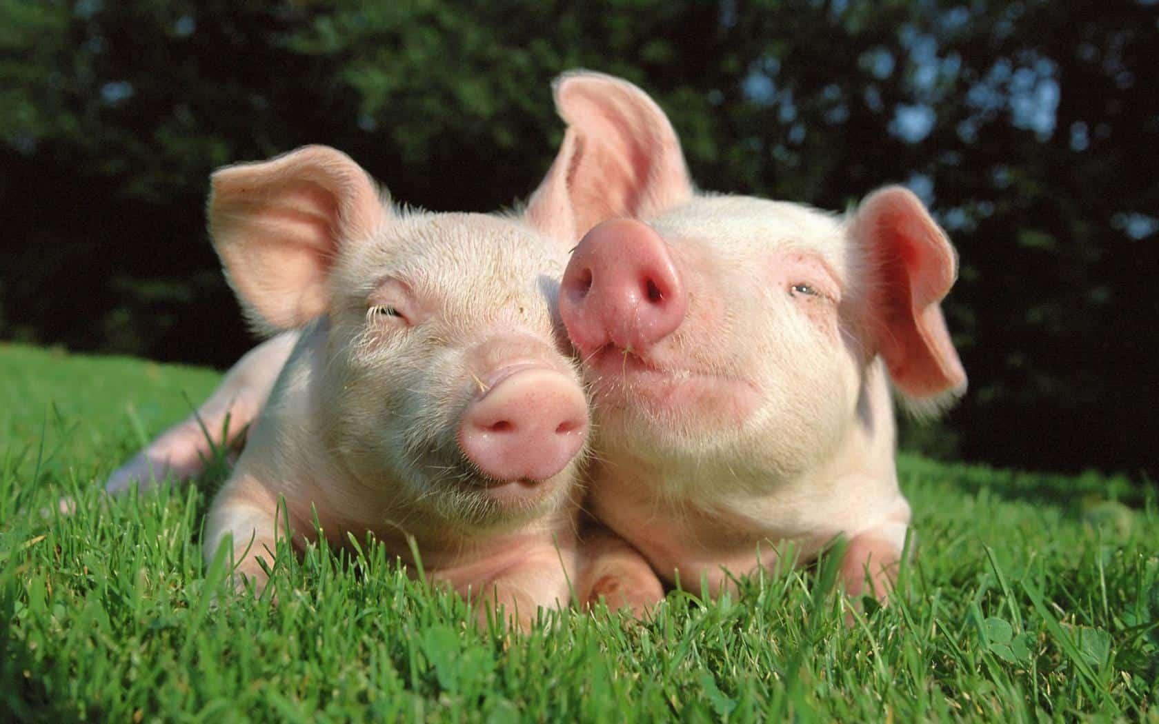 Свинки на траве
