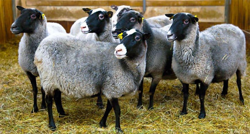 Несколько овец