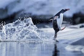 Пингвин ходит