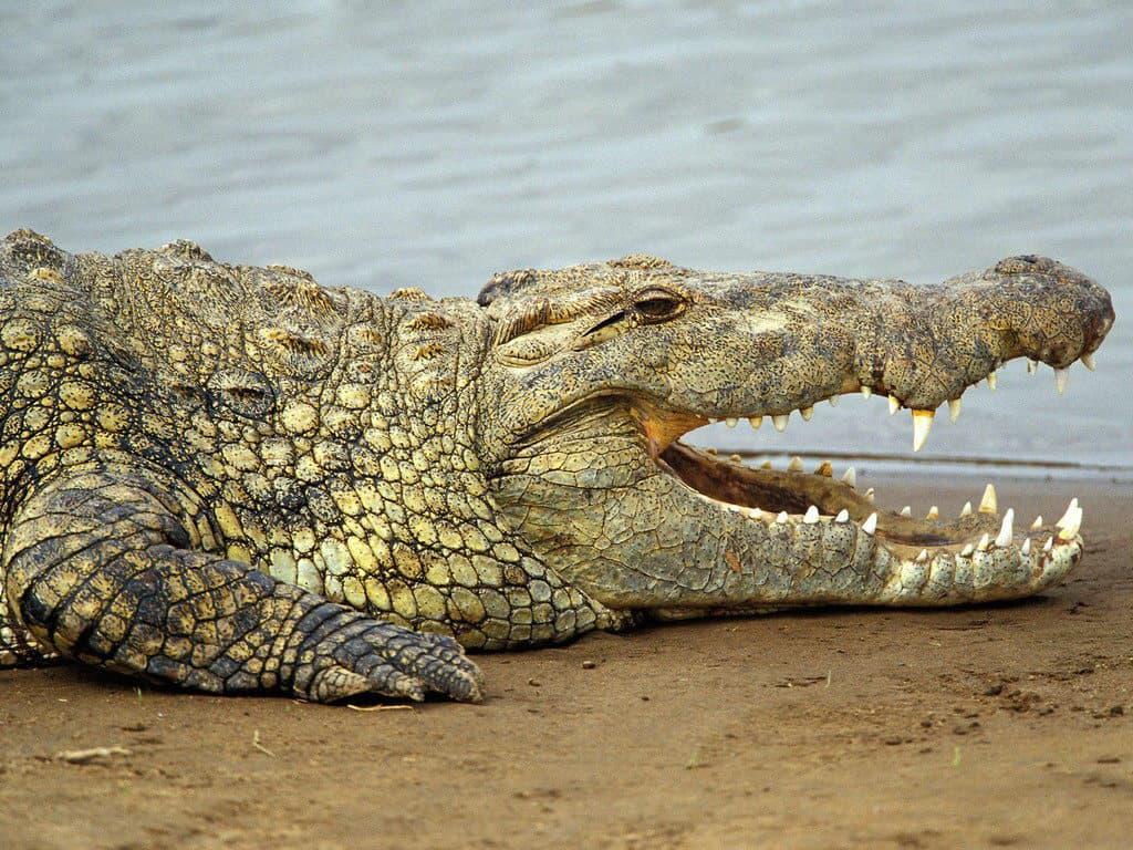 Крокодил у озера