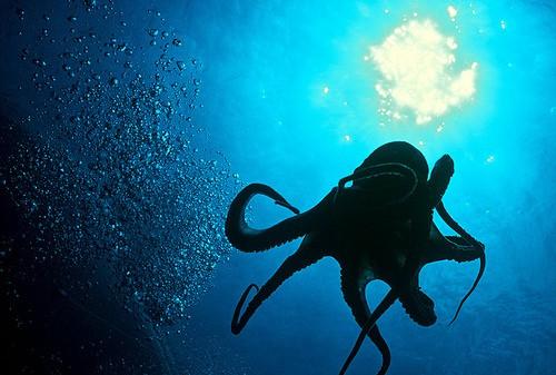 Осьминог в воде