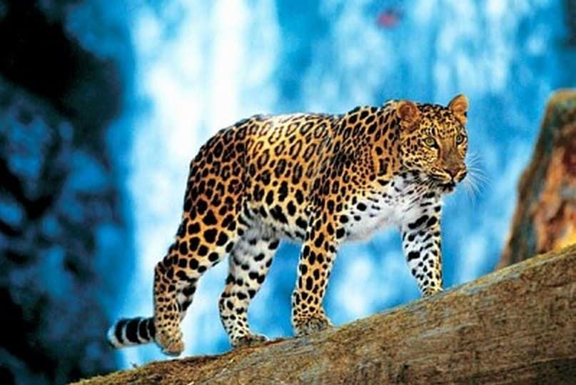 Осторожный леопард