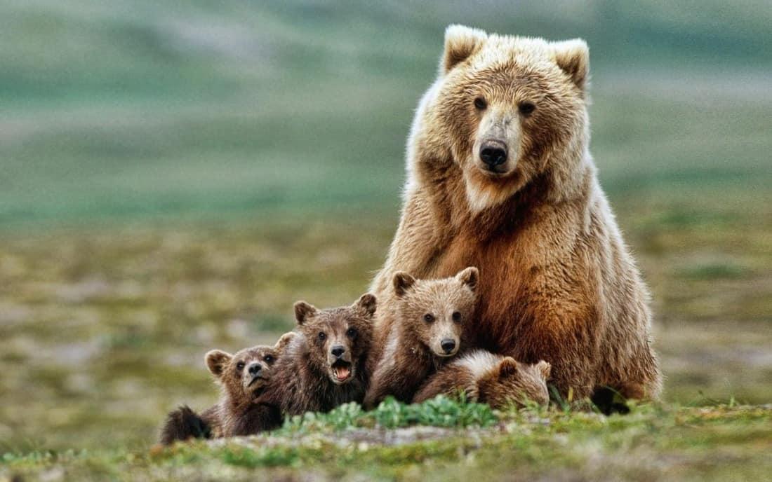 Детки у медведицы