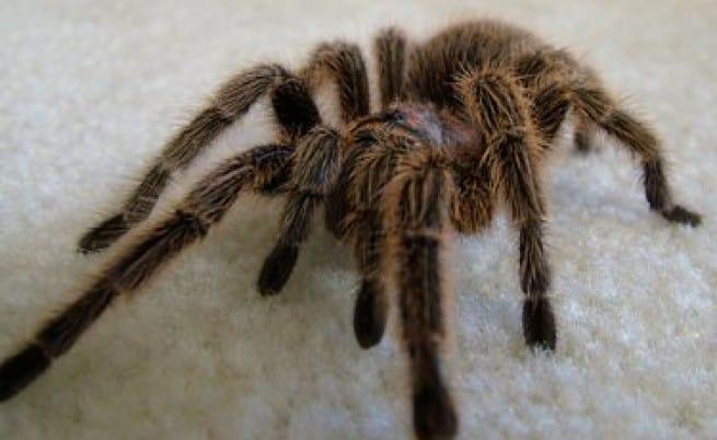 Яркий тарантул