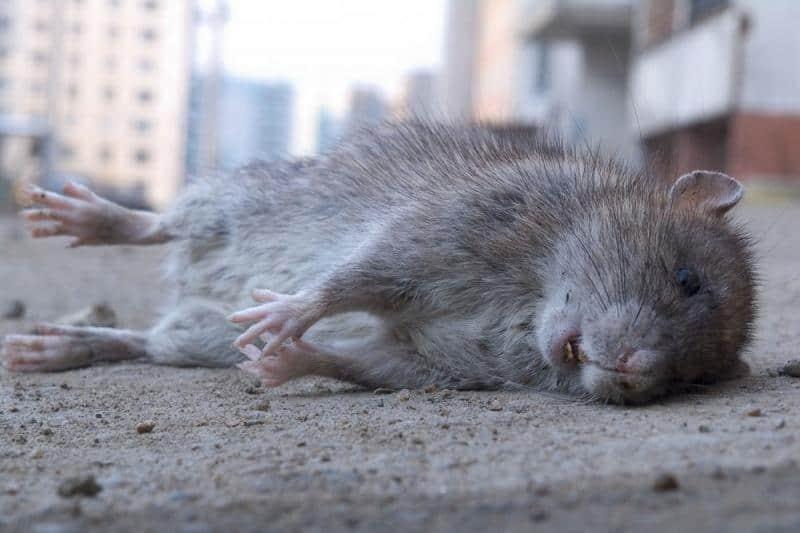Серая умершая крыса