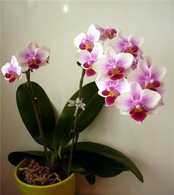 орхидея - символ счастья в доме