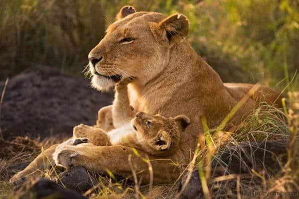 Потомство львицы