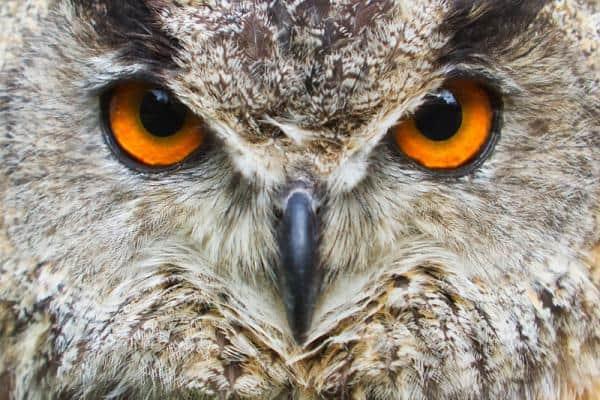 Яркий глаза совы