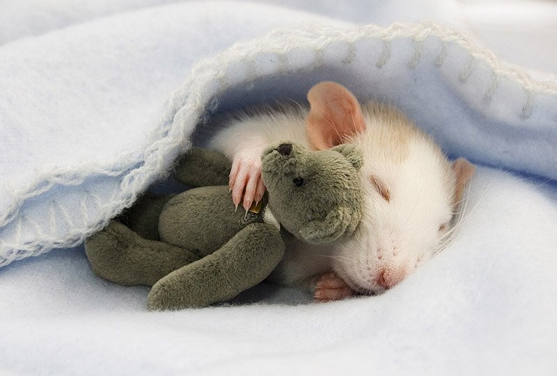 Спящая крыса