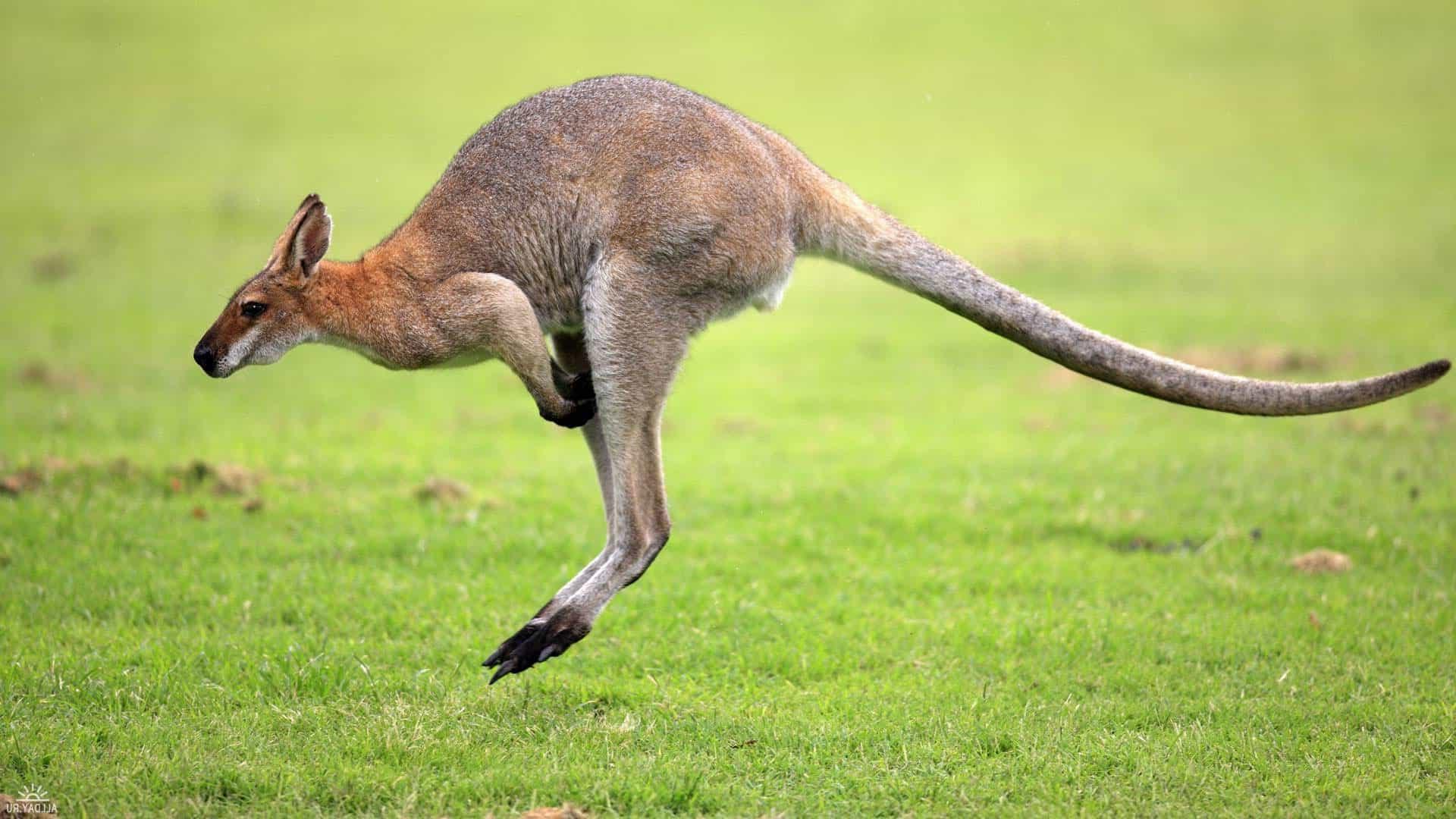 К чему снится кенгуру по толкованиям сонников и основным значениям