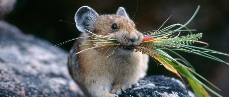 Кушающая крыса