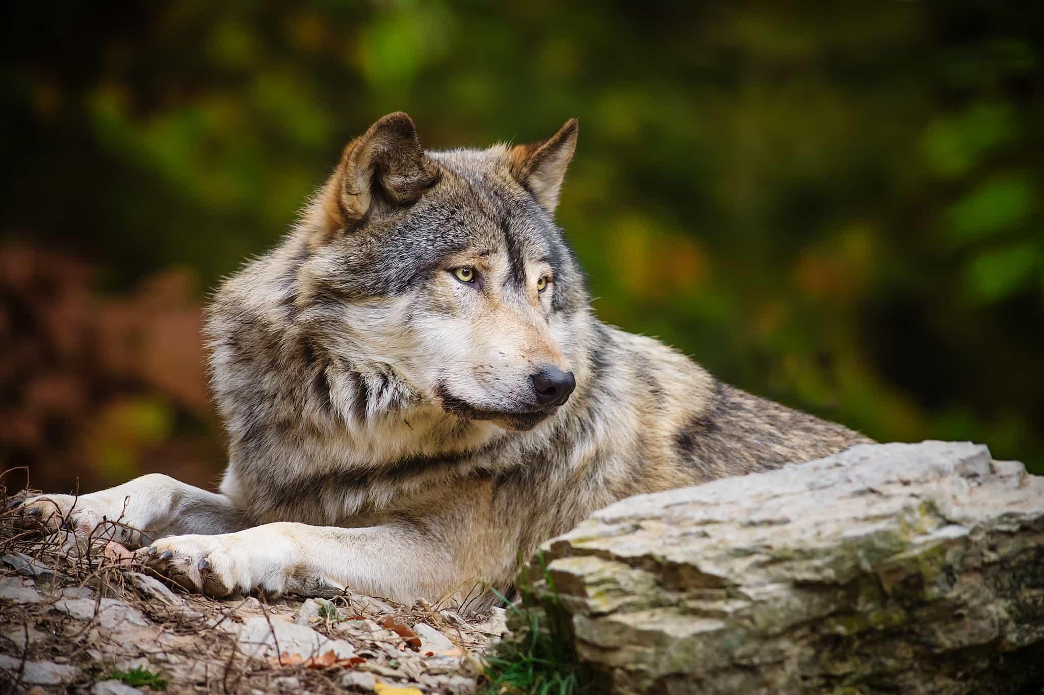 Отдыхающий волк