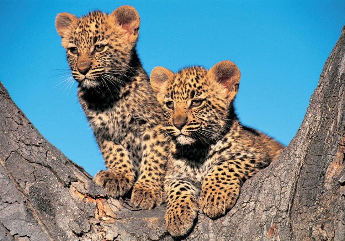 Детки леопарда