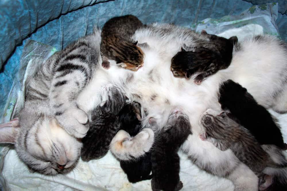 Котята у мамки