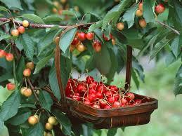 Спелая черешня на дереве