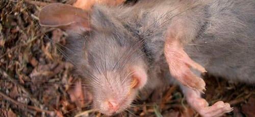 Умершая крыса