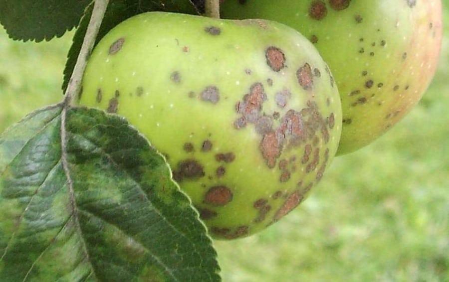 Зеленое яблоко на дереве
