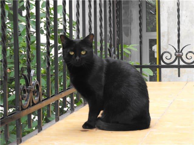 Черная котейка