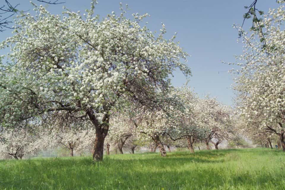Сад яблонь