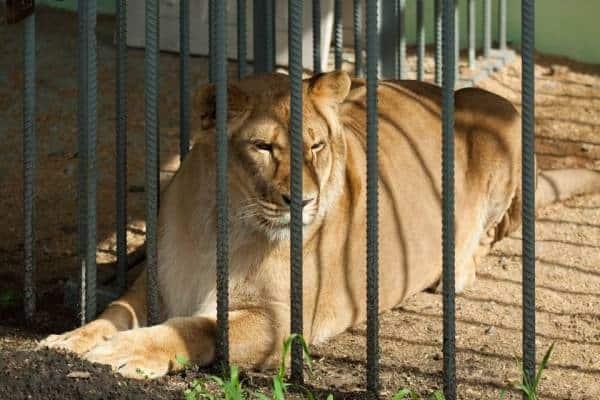 Львица за решеткой