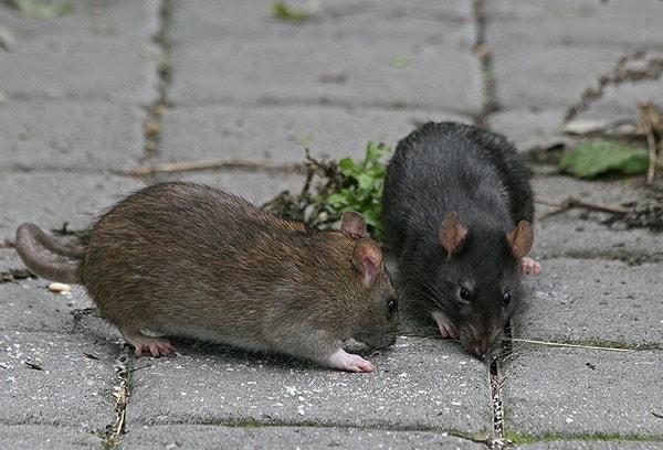 Черная и серая крыса