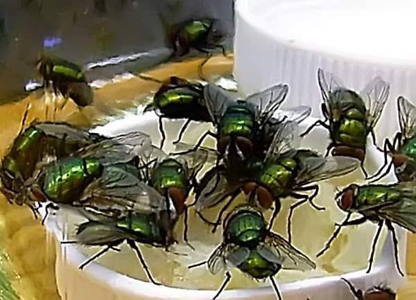 Стая мух