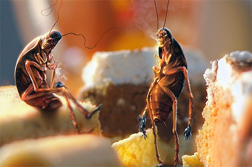 Тараканы среди еды