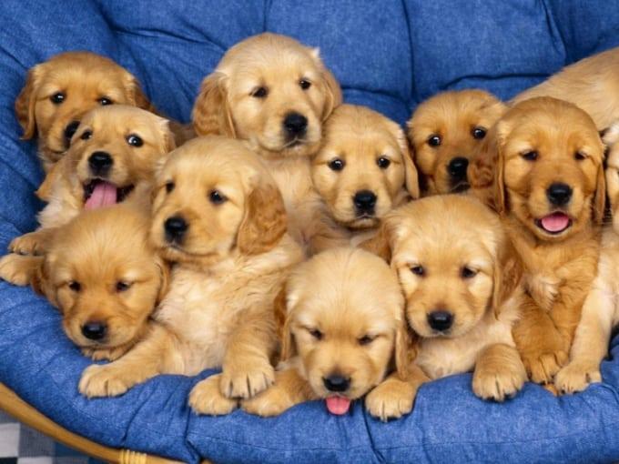 Много рыжих щенков