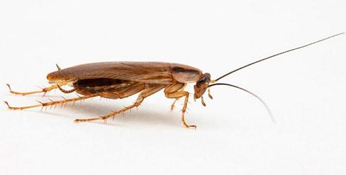 Светлый таракан