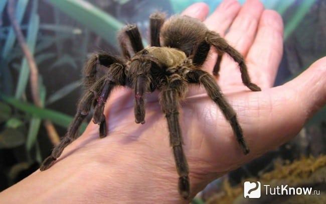 К чему снится тарантул по сонникам Ванги, Миллера и Фрейда