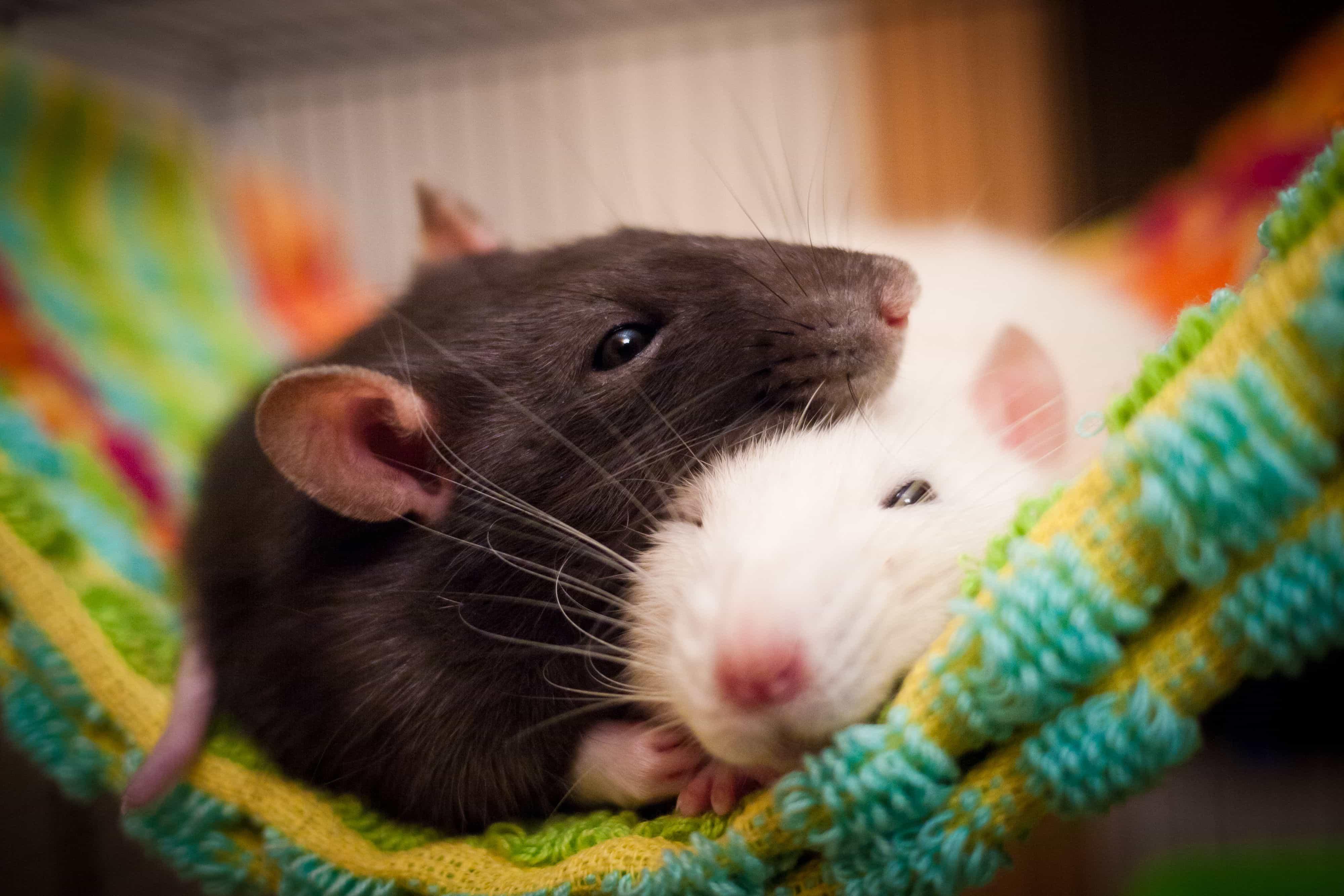 К чему снится крыса по толкованиям авторитетных сонников и общим значениям