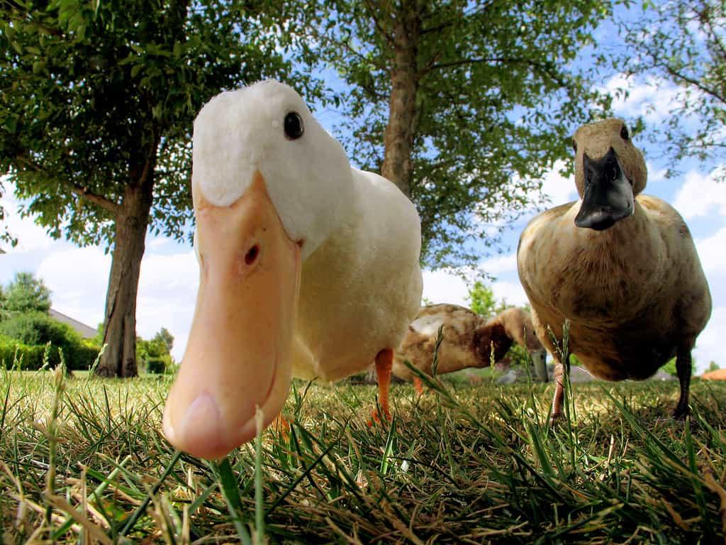 Почему приснилась утка — расшифровка образа сновидения по сонникам