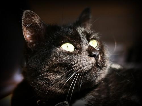 К чему снится черный кот по сонникам Миллера и Фрейда