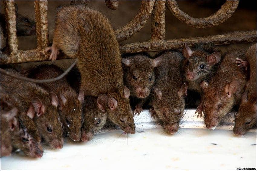 Темные крысы