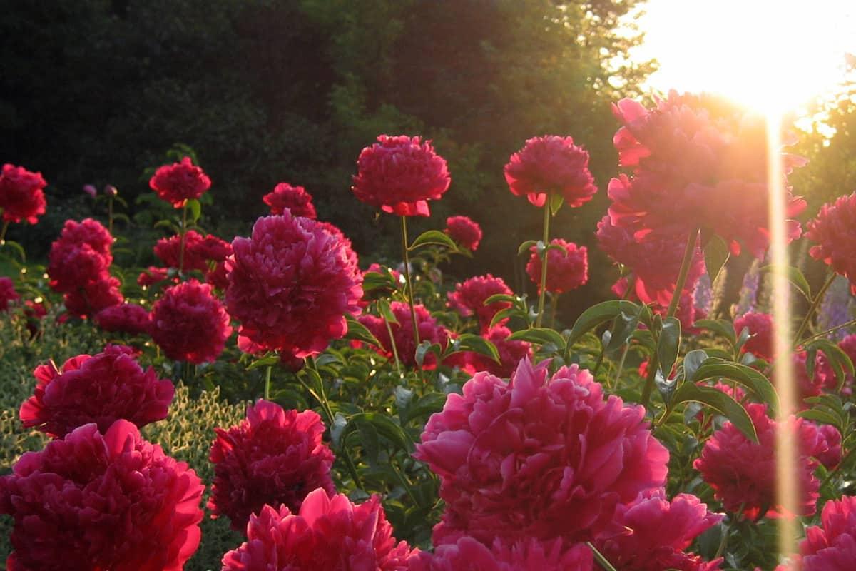 пионы в саду фото