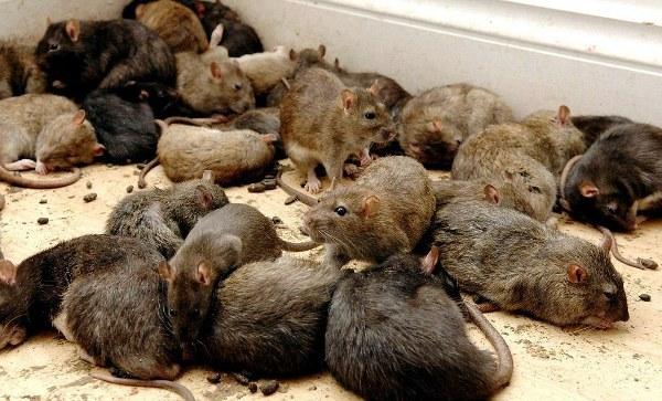 Приснились мыши в большом количестве – расшифровка по сонникам