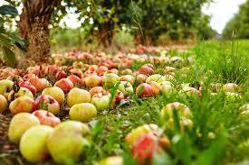Осыпанные яблоки