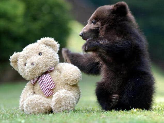 К чему снятся медведи по толкованиям сонников и основным значениям