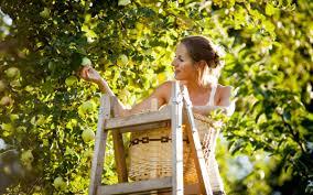 Девушка собирает яблоки