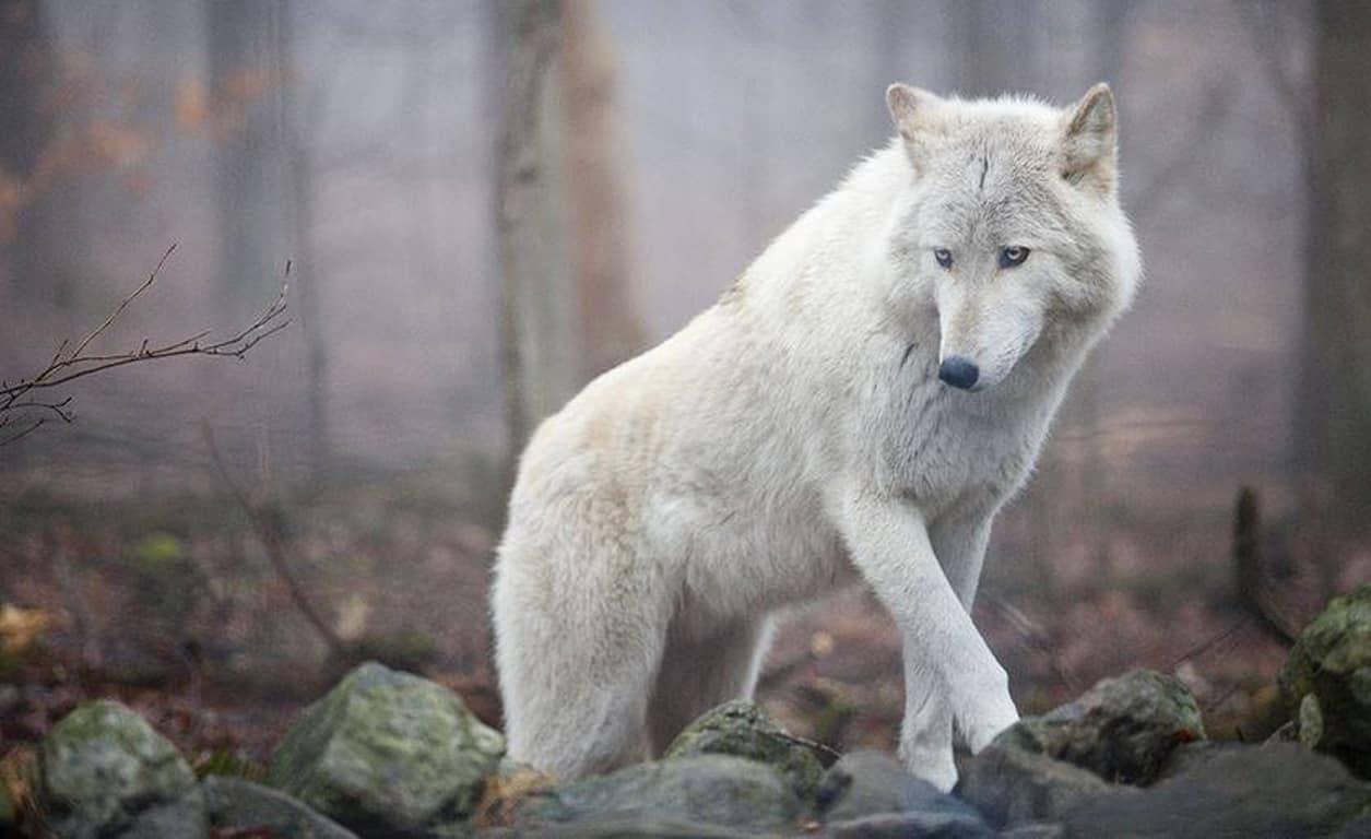 Как понять сон о белом волке: нюансы расшифровки по сонникам