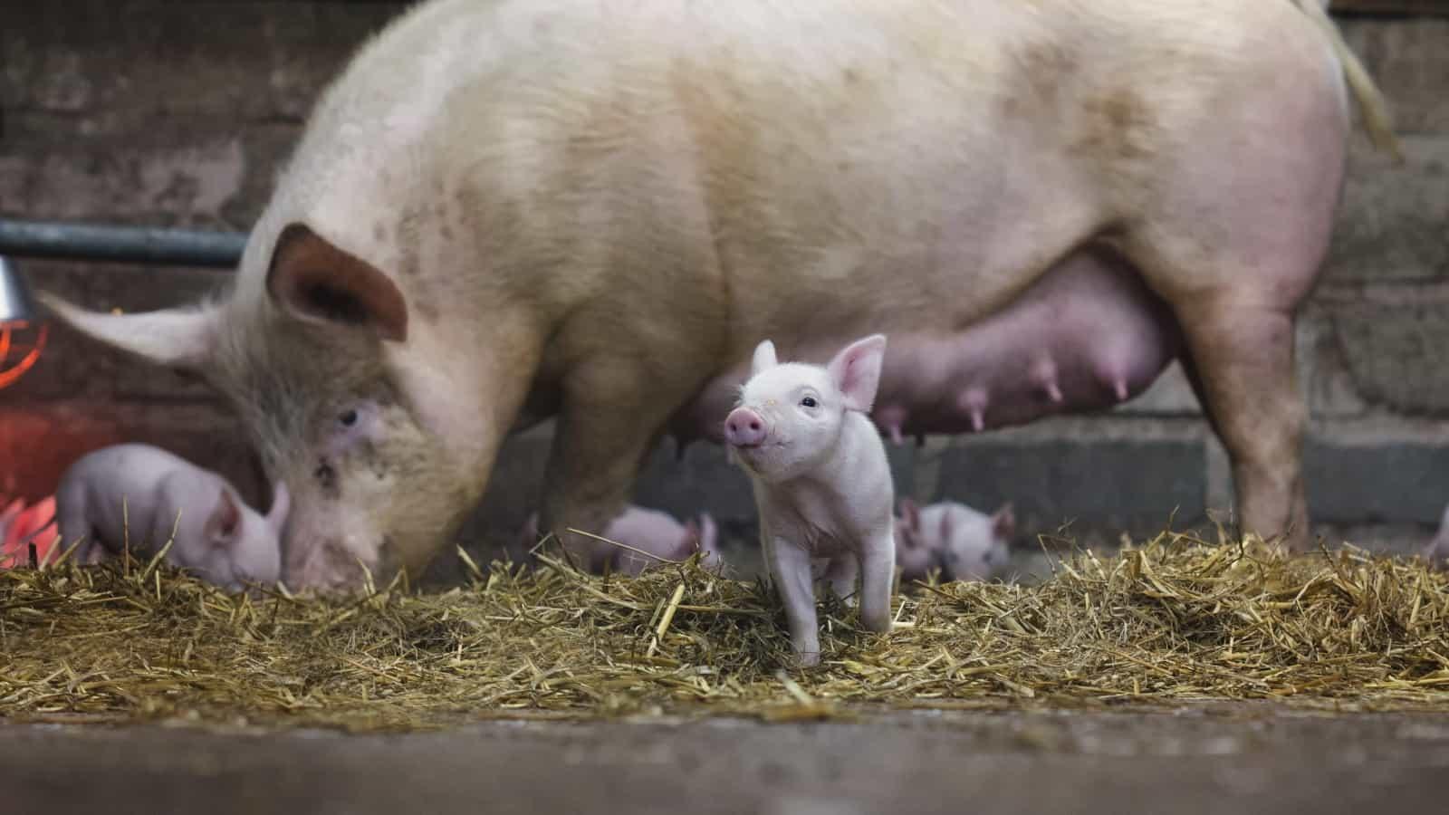 К чему снится свинья с поросятами по сонникам и основным значениям