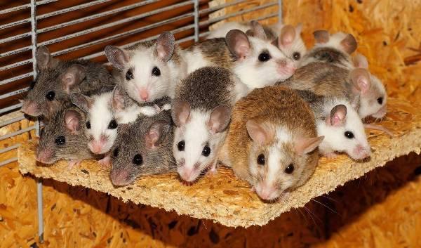 Стая мышь