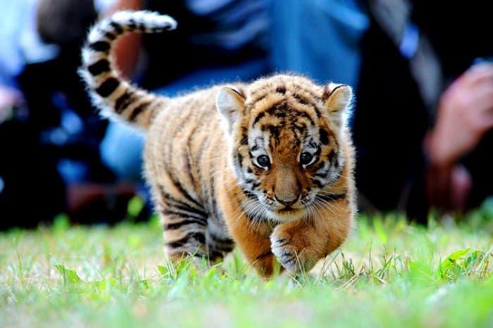 Мелкий тигренок