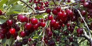 Спелая вишня