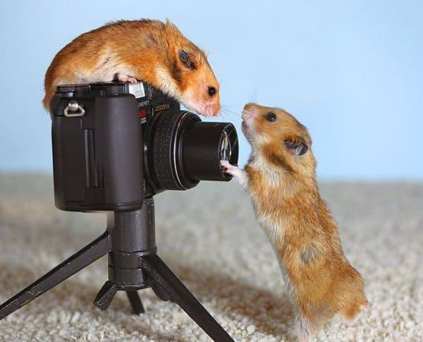 Хомяки и фотоаппарат