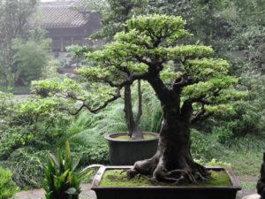 Сила денежного дерева по фен-шуй