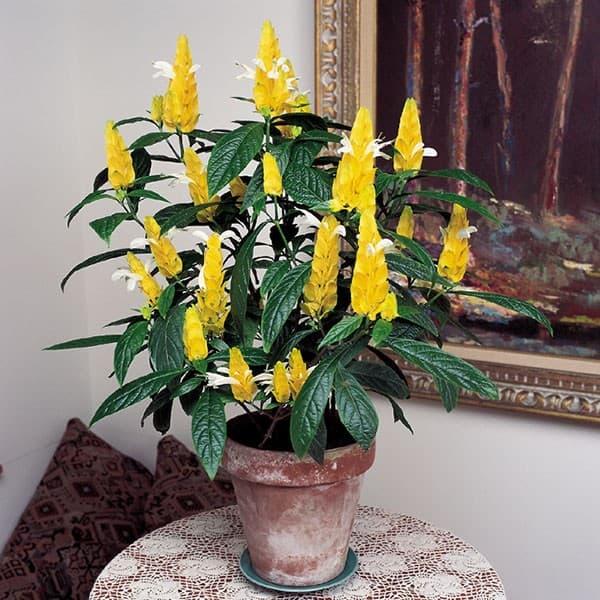 Желтый вазон