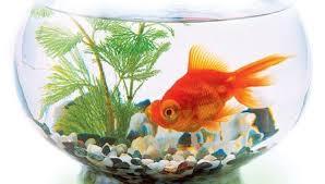 К чему снится рыба в аквариуме по сонникам Миллера, Фрейда, Лонго