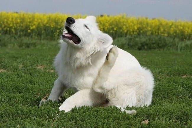 Бела собака
