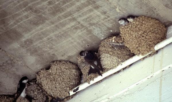Счастливая примета: ласточка свила гнездо под крышей